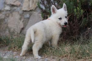 White-Swiss-Shepherd-Puppies-BTWW-GosaNostra-September-20092018-0073
