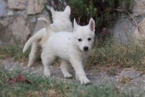 White-Swiss-Shepherd-Puppies-BTWW-GosaNostra-September-20092018-0074