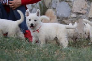 White-Swiss-Shepherd-Puppies-BTWW-GosaNostra-September-20092018-0077
