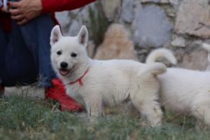 White-Swiss-Shepherd-Puppies-BTWW-GosaNostra-September-20092018-0078