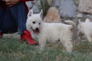 White-Swiss-Shepherd-Puppies-BTWW-GosaNostra-September-20092018-0079