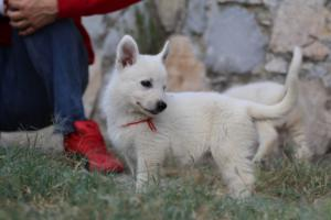 White-Swiss-Shepherd-Puppies-BTWW-GosaNostra-September-20092018-0080