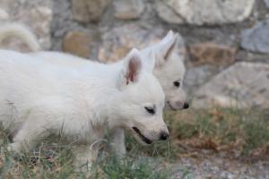 White-Swiss-Shepherd-Puppies-BTWW-GosaNostra-September-20092018-0081