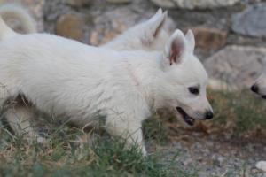 White-Swiss-Shepherd-Puppies-BTWW-GosaNostra-September-20092018-0082