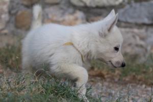 White-Swiss-Shepherd-Puppies-BTWW-GosaNostra-September-20092018-0084