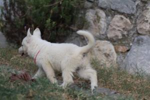 White-Swiss-Shepherd-Puppies-BTWW-GosaNostra-September-20092018-0087