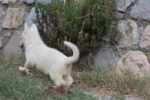 White-Swiss-Shepherd-Puppies-BTWW-GosaNostra-September-20092018-0088