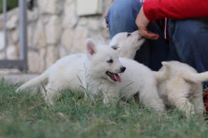 White-Swiss-Shepherd-Puppies-BTWW-GosaNostra-September-20092018-0089