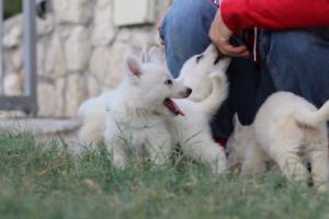 White-Swiss-Shepherd-Puppies-BTWW-GosaNostra-September-20092018-0091