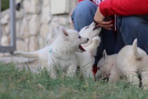 White-Swiss-Shepherd-Puppies-BTWW-GosaNostra-September-20092018-0092