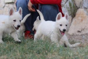 White-Swiss-Shepherd-Puppies-BTWW-GosaNostra-September-20092018-0093
