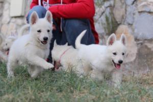 White-Swiss-Shepherd-Puppies-BTWW-GosaNostra-September-20092018-0094