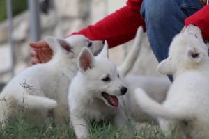 White-Swiss-Shepherd-Puppies-BTWW-GosaNostra-September-20092018-0095