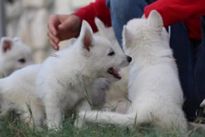 White-Swiss-Shepherd-Puppies-BTWW-GosaNostra-September-20092018-0097