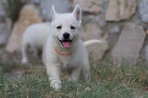 White-Swiss-Shepherd-Puppies-BTWW-GosaNostra-September-20092018-0098
