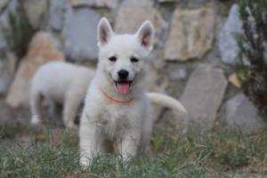 White-Swiss-Shepherd-Puppies-BTWW-GosaNostra-September-20092018-0099