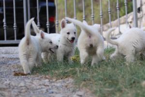 White-Swiss-Shepherd-Puppies-BTWW-GosaNostra-September-20092018-0102