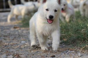 White-Swiss-Shepherd-Puppies-BTWW-GosaNostra-September-20092018-0103