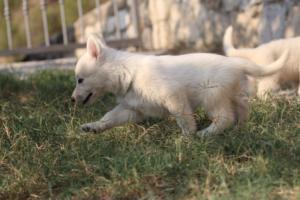 White-Swiss-Shepherd-Puppies-BTWW-GosaNostra-September-20092018-0104