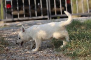 White-Swiss-Shepherd-Puppies-BTWW-GosaNostra-September-20092018-0105
