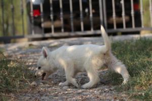 White-Swiss-Shepherd-Puppies-BTWW-GosaNostra-September-20092018-0106