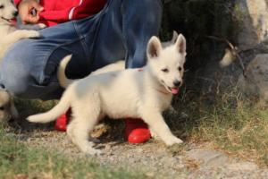 White-Swiss-Shepherd-Puppies-BTWW-GosaNostra-September-20092018-0107
