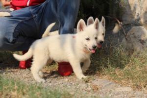 White-Swiss-Shepherd-Puppies-BTWW-GosaNostra-September-20092018-0108