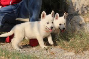 White-Swiss-Shepherd-Puppies-BTWW-GosaNostra-September-20092018-0109