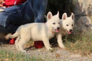 White-Swiss-Shepherd-Puppies-BTWW-GosaNostra-September-20092018-0110