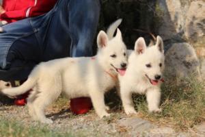 White-Swiss-Shepherd-Puppies-BTWW-GosaNostra-September-20092018-0111