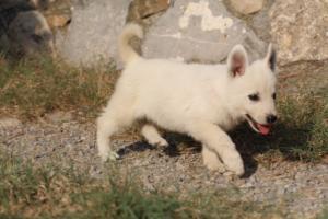 White-Swiss-Shepherd-Puppies-BTWW-GosaNostra-September-20092018-0112
