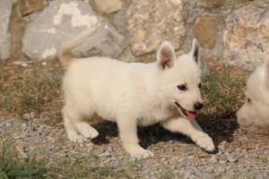 White-Swiss-Shepherd-Puppies-BTWW-GosaNostra-September-20092018-0113