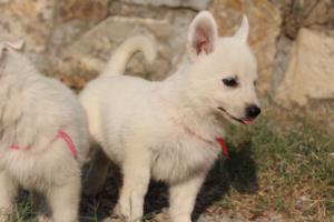 White-Swiss-Shepherd-Puppies-BTWW-GosaNostra-September-20092018-0115