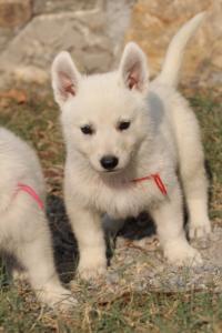 White-Swiss-Shepherd-Puppies-BTWW-GosaNostra-September-20092018-0116