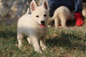 White-Swiss-Shepherd-Puppies-BTWW-GosaNostra-September-20092018-0118