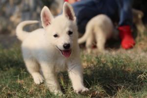 White-Swiss-Shepherd-Puppies-BTWW-GosaNostra-September-20092018-0119