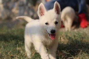 White-Swiss-Shepherd-Puppies-BTWW-GosaNostra-September-20092018-0120
