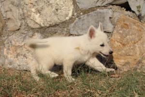 White-Swiss-Shepherd-Puppies-BTWW-GosaNostra-September-20092018-0121