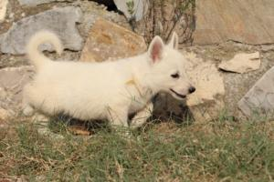 White-Swiss-Shepherd-Puppies-BTWW-GosaNostra-September-20092018-0122
