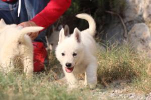 White-Swiss-Shepherd-Puppies-BTWW-GosaNostra-September-20092018-0123