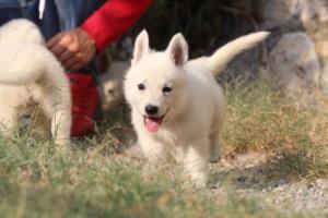 White-Swiss-Shepherd-Puppies-BTWW-GosaNostra-September-20092018-0124