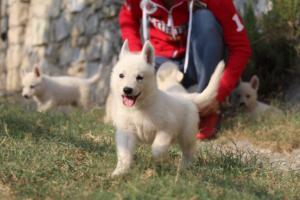 White-Swiss-Shepherd-Puppies-BTWW-GosaNostra-September-20092018-0125