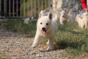 White-Swiss-Shepherd-Puppies-BTWW-GosaNostra-September-20092018-0126