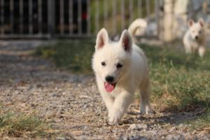White-Swiss-Shepherd-Puppies-BTWW-GosaNostra-September-20092018-0127