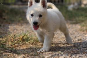 White-Swiss-Shepherd-Puppies-BTWW-GosaNostra-September-20092018-0129