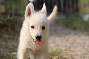 White-Swiss-Shepherd-Puppies-BTWW-GosaNostra-September-20092018-0130