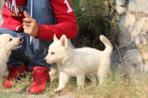 White-Swiss-Shepherd-Puppies-BTWW-GosaNostra-September-20092018-0131