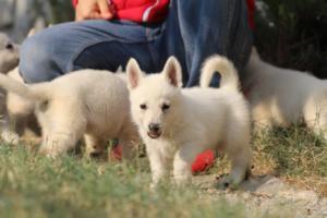 White-Swiss-Shepherd-Puppies-BTWW-GosaNostra-September-20092018-0132