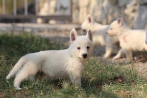 White-Swiss-Shepherd-Puppies-BTWW-GosaNostra-September-20092018-0133