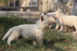 White-Swiss-Shepherd-Puppies-BTWW-GosaNostra-September-20092018-0134